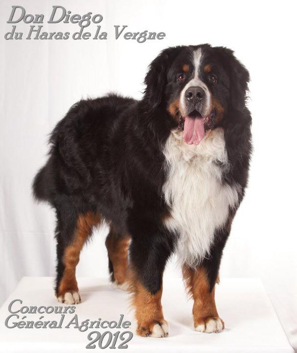 Bouviers bernois chiots et chiens du haras de la vergne - Bouvier bernois prix ...