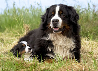 chiens bouvier bernois